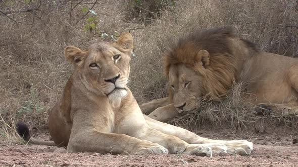 Thumbnail for African Lion Male Female Adult Pair Resting Dry Season in South Africa