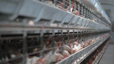 Chicken Farm Interior