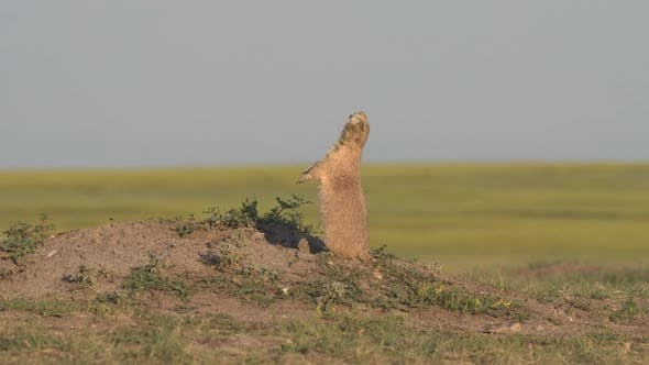 Thumbnail for Black-tailed Prairie Dog Adult Lone Calling Yip Call All Clear Jump in Summer