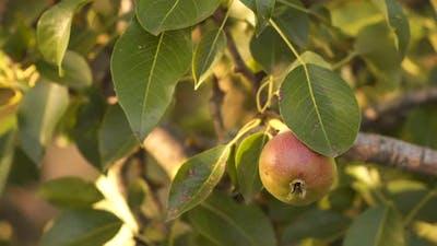 Pear among green leaves