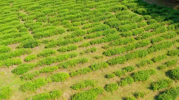 Thumbnail for Aerial View Tea Plantation