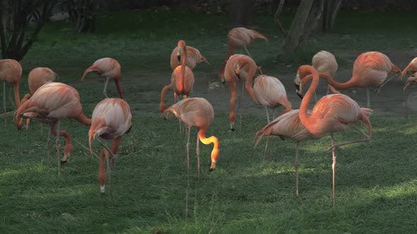Thumbnail for Group of Flamingos Eating