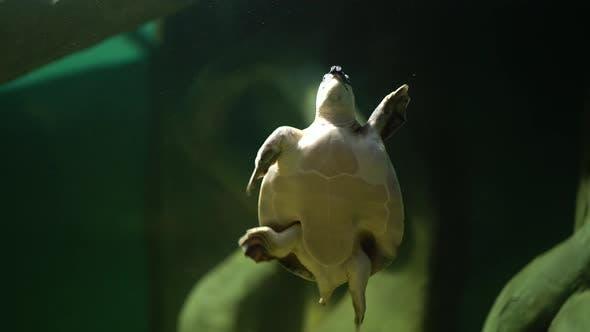Thumbnail for Swimming Turtle in Big Aquarium