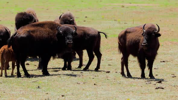 Thumbnail for A herd of bison in Arizona