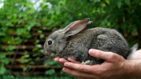 Thumbnail for Rabbit. Animal In Man Hands