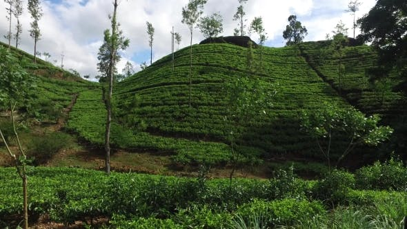 Thumbnail for Tea Plantation Field On Sri Lanka Hills 73