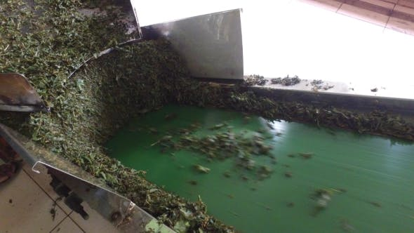 Thumbnail for Green Tea Moving On Machine Conveyor At Factory 46