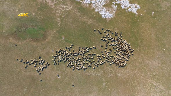Thumbnail for Aerial Sheep Herd