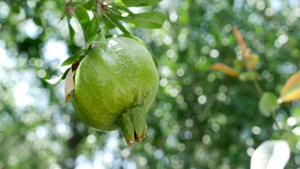 Thumbnail for Unripe Pomegranate Hanging On Branch