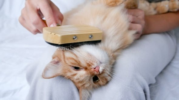 Thumbnail for The Woman Combs A Dozing Cat's Fur