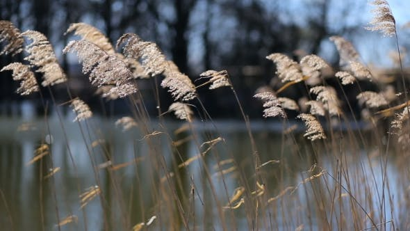 Thumbnail for Reed Swaying In The Wind