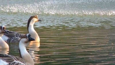 Goose Animal in Lake 3