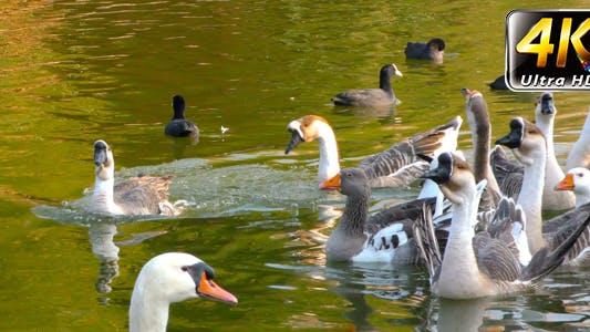 Thumbnail for Goose Animal in Lake 5