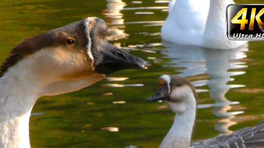 Thumbnail for Goose Animal in Lake 6