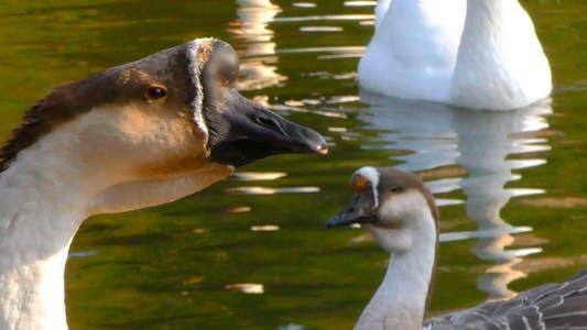 Thumbnail for Goose Animal in Lake 6
