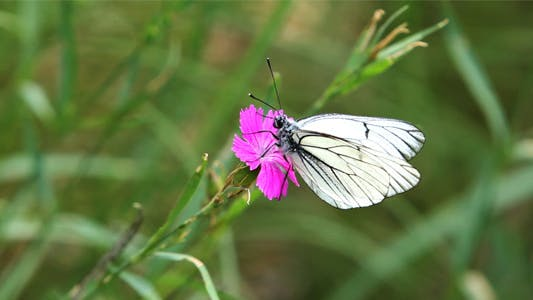 Thumbnail for White, Striped Butterfly