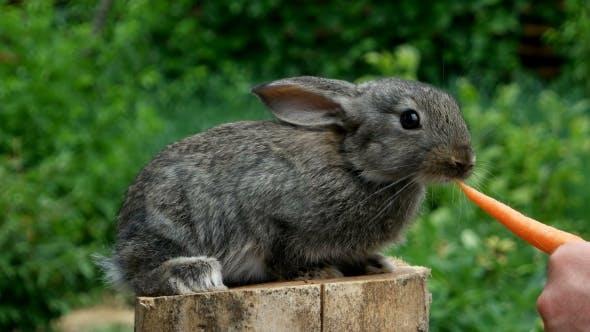 Thumbnail for Rabbit. Feeding Animal