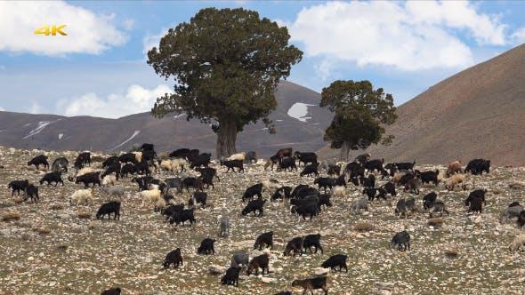 Thumbnail for Herd of Goat (2 Clips)