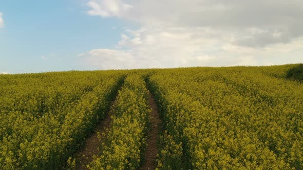 Thumbnail for Rapeseed Plantations Under Cloudy Sky