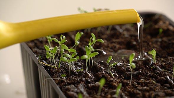 Watering of Seedling 3