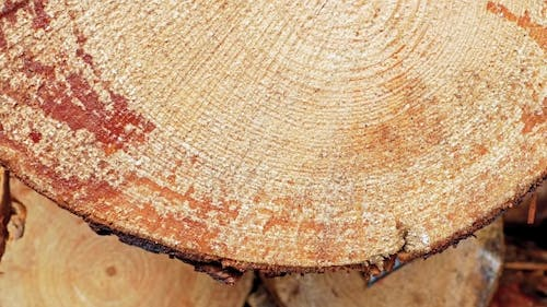 Cross Section Of The Tree.