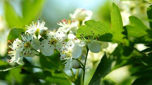Thumbnail for Apple Blossom
