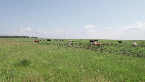 Aerial Drone Shot of Cows Grazing on Pasture Landscape