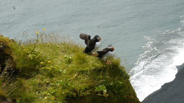 Thumbnail for Puffins On The Edge Of a Cliff. Iceland