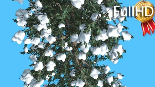 Thumbnail for White Fir Trunk and Branches Top Down Snow