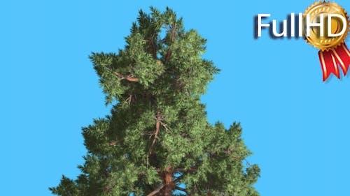 Scots Pine Top of Coniferous Evergreen Tree Pinus