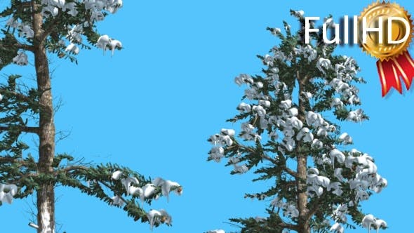 Thumbnail for White Fir Two Trees Firs Covered With Snow