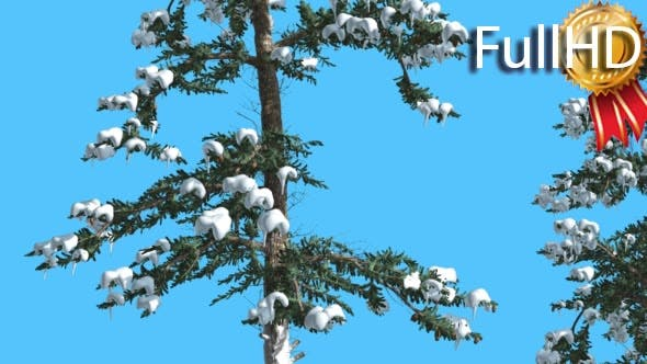Thumbnail for Two Thin Firs at Sunny Day in Winter Coniferous