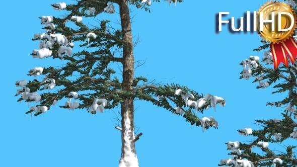Thumbnail for White Fir Two Thin Firs in Sunny Wintry Day