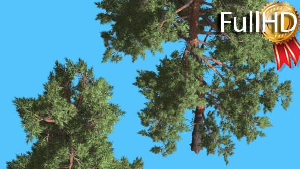 Thumbnail for Scots Pine Two Trees Pines Coniferous Evergreen