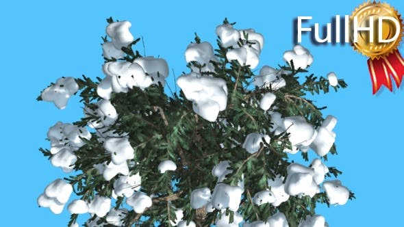 Thumbnail for White Fir Crown Top Down Covered With Snow
