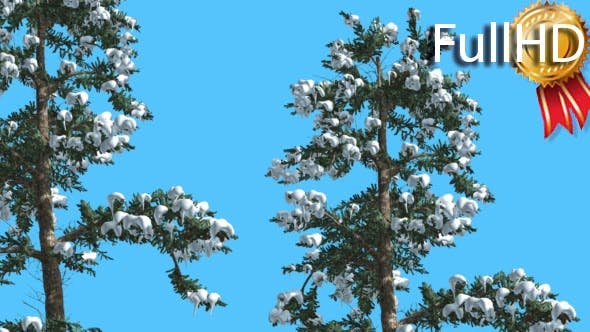 Thumbnail for White Fir Two Thin Firs Snow on Branches