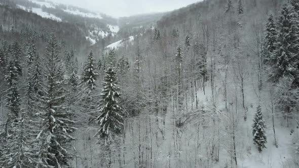 Thumbnail for Aerial View of Winter Spruce Snowy Forest