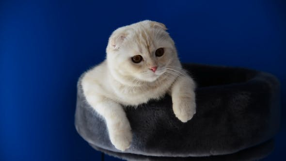 Thumbnail for Scottish Fold Kitten Lying On  Couch