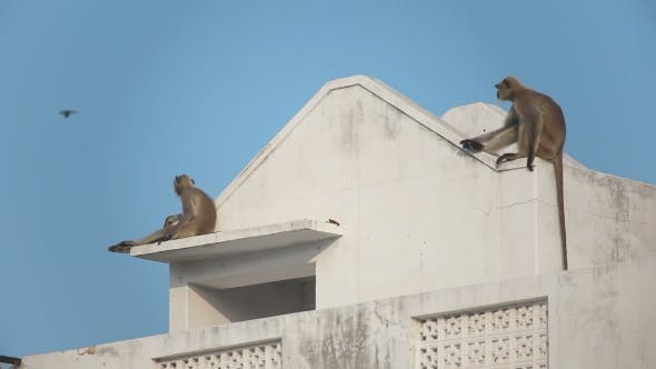 Thumbnail for Two Gray Langur (Semnopithecus Dussumieri) Invade a Rooftop In Pushkar City