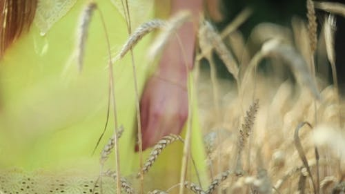 Beautiful Girl With Long Hair Walking Between The Ears Of Wheat.