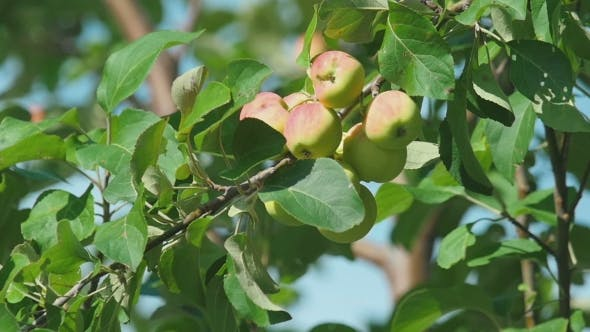 Thumbnail for Yellow-red Apples On a Tree