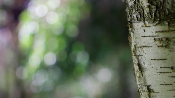 Cover Image for Birch With Bokeh Lights