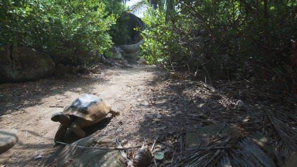 Thumbnail for Aldabra Giant Tortoise In Nature