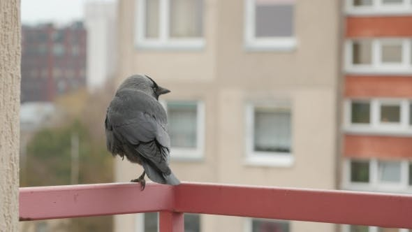 Thumbnail for Jackdaw Sitting On a Railing.