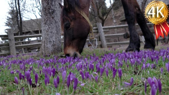 Thumbnail for Chestnut Horse Grazing in a Field of Crocus