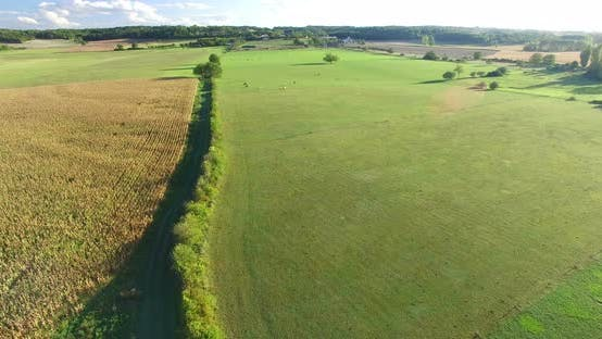 Thumbnail for Aerial View Of Cornfield And Meadows With Cows 2