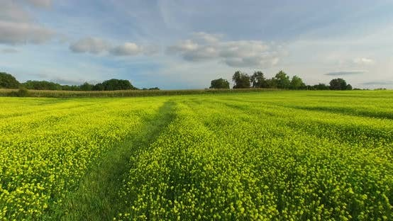 Cover Image for Aerial View Of Yellow Rapeseed Field 1