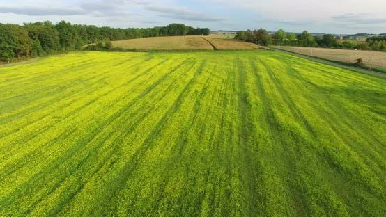 Thumbnail for Aerial View Of Yellow Rapeseed Field 10