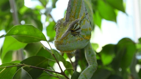 Thumbnail for Chameleon On a Tree Branch