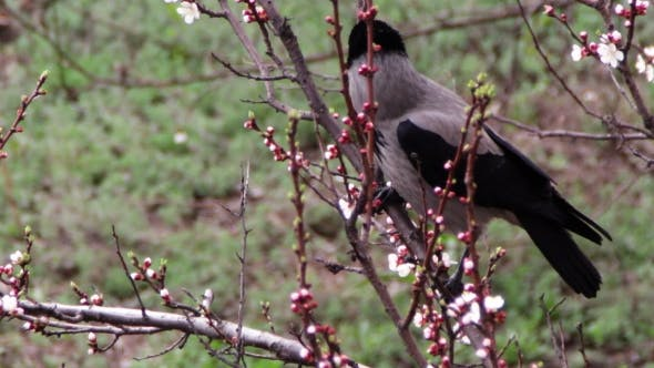 Thumbnail for Crow Sit On a Blossoming Apricot And Eat Blooming Flower